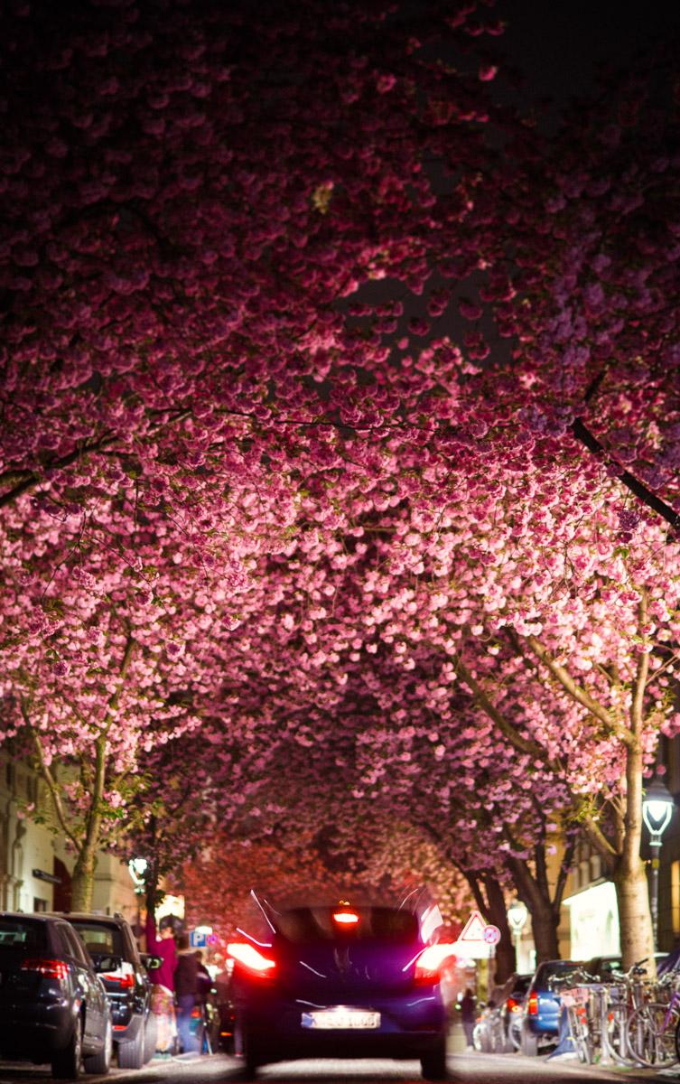 Kirschblüten auf der Bonner Heerstraße