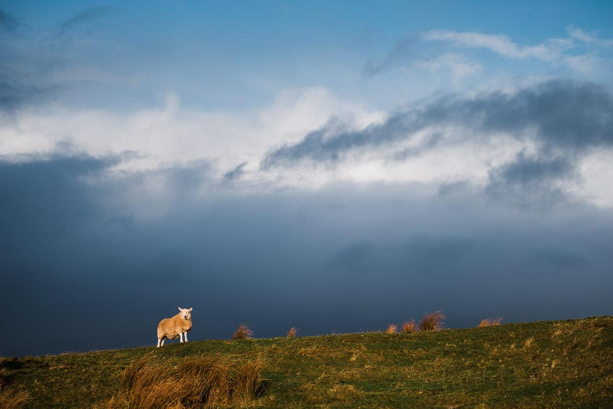 Scharfe Schafe an der NC500