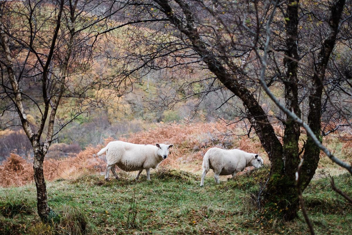 Schafe auf dem Weg zu den Falls of Kirkaig